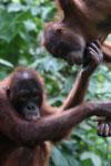 Pair of orphaned orangutans -- sabah_3975