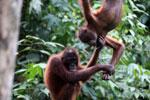 Pair of orphaned orangutans -- sabah_3976