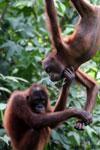 Pair of orphaned orangutans -- sabah_3979