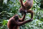 Pair of orphaned orangutans -- sabah_3982