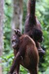 Pair of orphaned orangutans -- sabah_3987