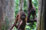 Pair of orphaned orangutans -- sabah_3989