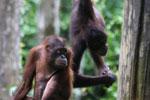 Pair of orphaned orangutans -- sabah_3990