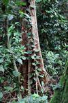 Rainforest vine -- sabah_3991