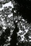 Borneo rainforest canopy -- sabah_3992