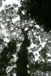 Borneo rainforest canopy -- sabah_3994