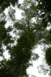 Borneo rainforest canopy -- sabah_3995