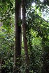 Borneo rainforest -- sabah_3996