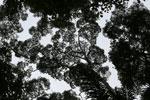 Borneo rainforest canopy -- sabah_3997
