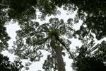 Borneo rainforest canopy -- sabah_3999