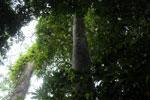Borneo rainforest -- sabah_4000