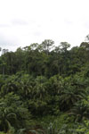Where an oil palm plantation meets the rainforest -- sabah_4005