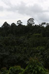 Oil palm vs rain forest -- sabah_4007