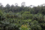 Oil palm vs rainforest