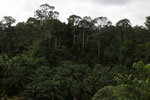 Oil palm vs rain forest -- sabah_4010
