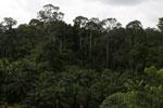 Oil palm vs rain forest -- sabah_4010