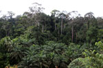 Oil palm vs rainforest -- sabah_4012