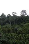 Oil palm vs rainforest -- sabah_4021