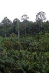 Oil palm vs rain forest -- sabah_4022