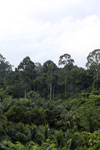 Where an oil palm plantation meets the rainforest