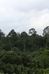 Oil palm vs rainforest -- sabah_4024