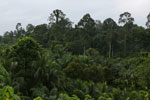 Oil palm vs rainforest -- sabah_4030