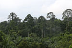 Oil palm vs rainforest -- sabah_4036