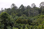 Oil palm vs rain forest