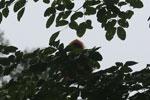 Red leaf monkey -- sabah_4045