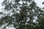 Red leaf monkey -- sabah_4046