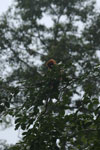 Red leaf monkey -- sabah_4047
