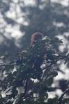 Red leaf monkey -- sabah_4048