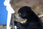 Baby sun bear at a rehabilitation center -- sabah_4050