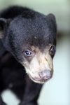 Baby sun bear at a rehabilitation center -- sabah_4059