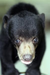 Baby sun bear at a rehabilitation center -- sabah_4060