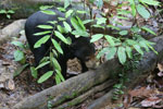 Baby sun bear at a rehabilitation center -- sabah_4064