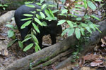 Baby sun bear at a rehabilitation center -- sabah_4065