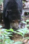 Sun bear -- sabah_4078