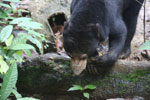 Sun bear -- sabah_4080