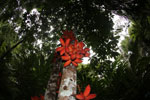 Kelumpang Sarawak (Sterculia megistophylla) -- sabah_4088
