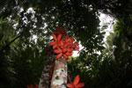 Kelumpang Sarawak (Sterculia megistophylla) -- sabah_4089