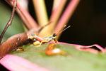 Grasshopper -- sabah_4091