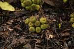 Figs -- sabah_4095