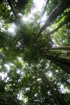 Dipterocarps in the Borneo rainforest -- sabah_4109