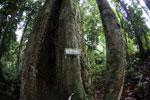 Borneo ironwood or ulin (Eusideroxylon zwageri)