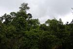 Borneo rainforest canopy -- sabah_4114