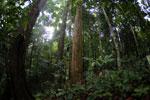 Dipterocarp forest in Borneo -- sabah_4120