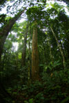 Dipterocarp forest in Borneo -- sabah_4121