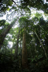 Dipterocarp forest in Borneo -- sabah_4122