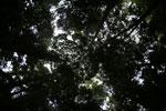 Dipterocarp forest in Borneo -- sabah_4124